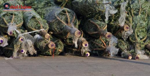 Brazi de Crăciun confiscaţi de poliţiştii clujeni