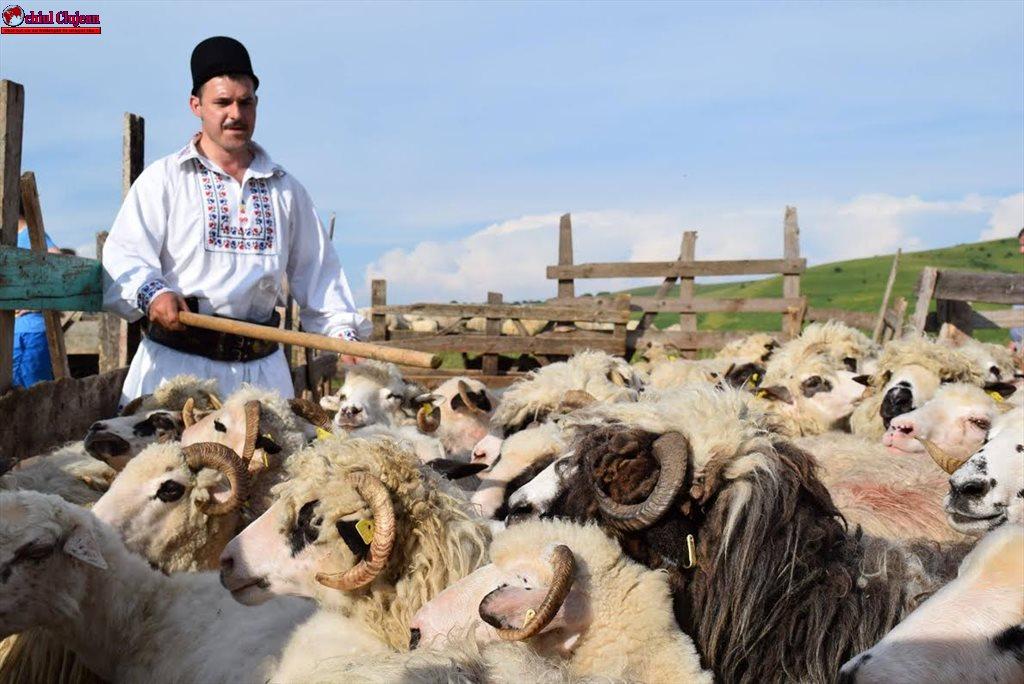 """""""Împreunatul oilor"""" la Bârlea și Rugășești"""