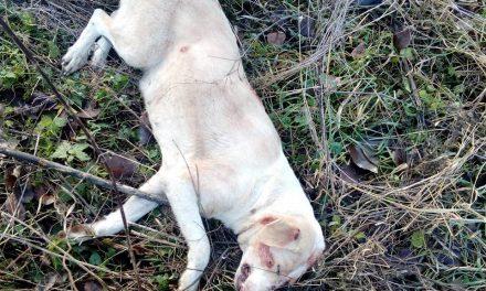 Cățelușă împușcată de un vânător la Taga VIDEO