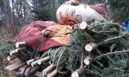 Hoți de brazi, prinși în flagrant de jandarmii clujeni. Au tăiat pomi de Crăciun în valoare de peste 27.000 de lei FOTO