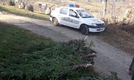 Peste 240 de pomi de Crăciun, confiscați la Săcuieu FOTO